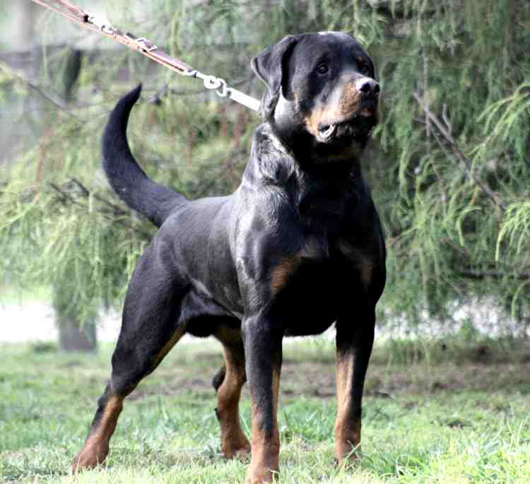 dogs stud ridgebacks index luanda dog cubi rhodesian from main