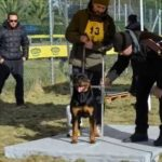 Measuring the height of the rottweiler